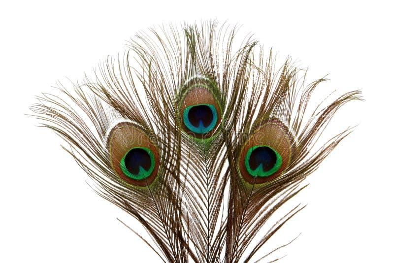 用羽毛装饰孔雀