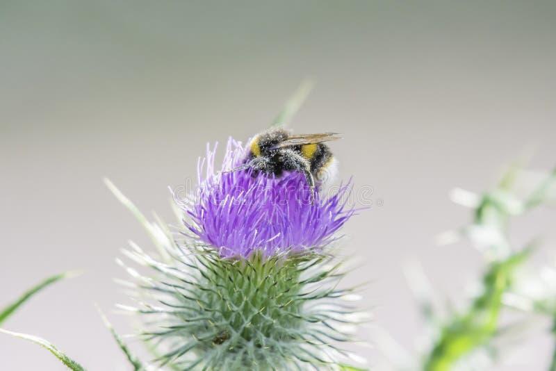 用花粉盖的土蜂收集花蜜从蓟flo 库存图片
