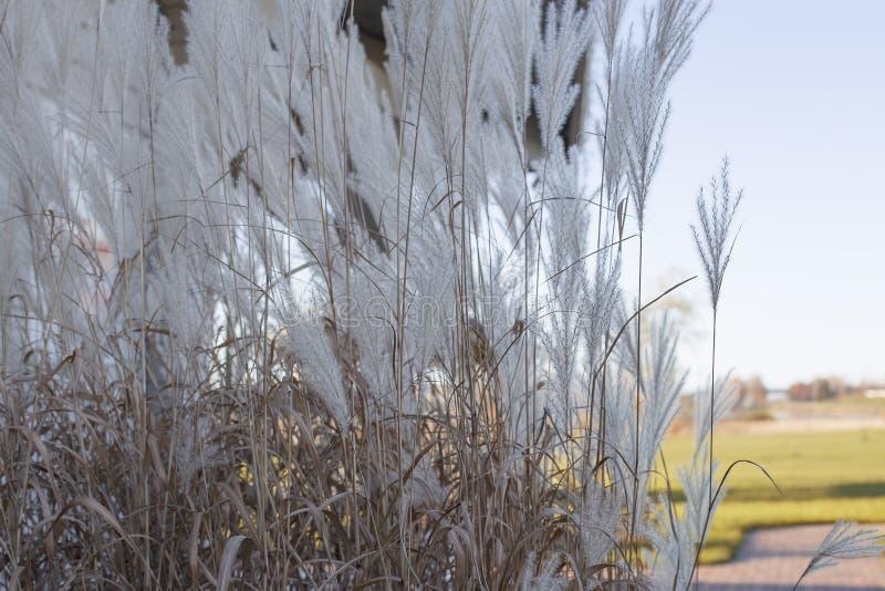 用茅草盖秋天背景 关闭 库存图片