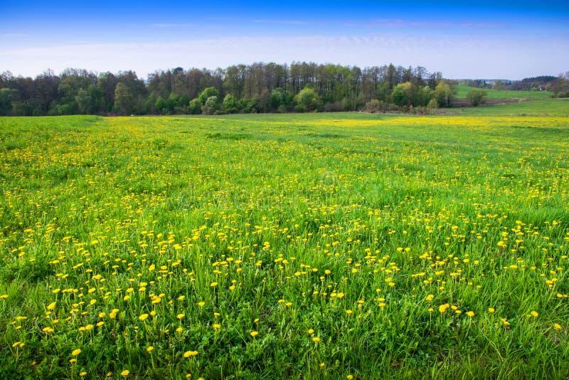 用蒲公英盖的春天草甸 库存图片