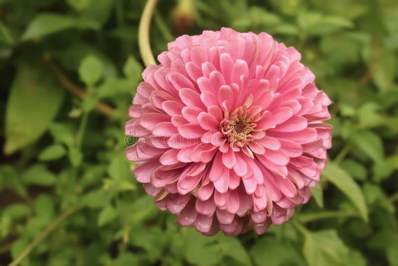 用被弄脏bokeh的叶子背景-选择聚焦填满框架美丽的桃红色百日菊属花的特写镜头  库存照片