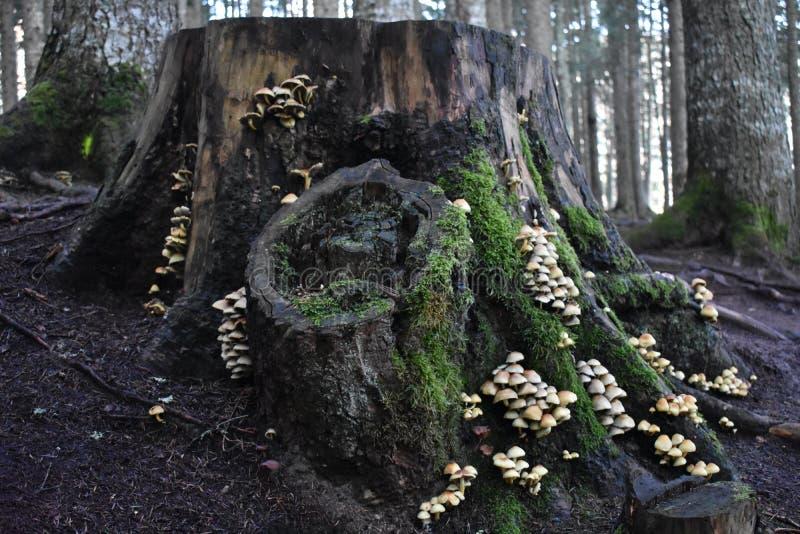 用许多蘑菇和青苔盖的大树桩 免版税库存照片