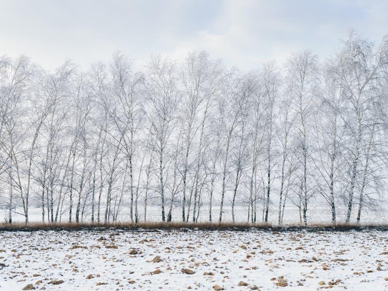 用雪包括的桦树 库存照片