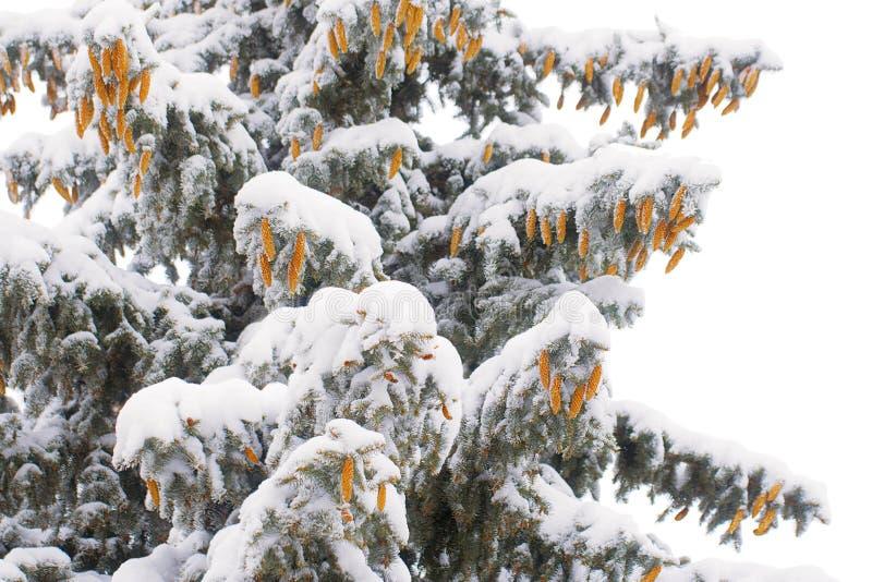 用雪和锥体盖的圣诞树的分支 库存图片