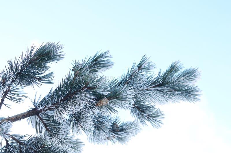 用雪报道的杉树分支反对蓝天 库存照片