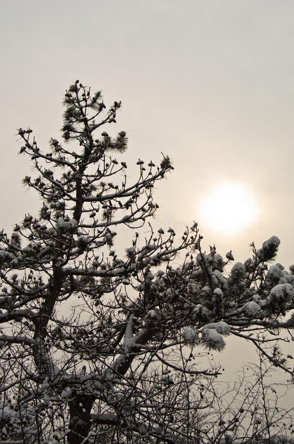 用雪报道的杉树分支的特写镜头在冬天在Kosutnjak公园 库存图片