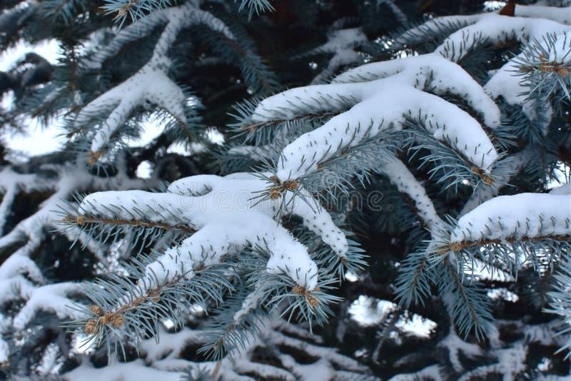用雪报道的杉树分支 免版税图库摄影