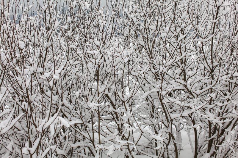 用雪报道的稀薄的密集的树枝 免版税库存图片