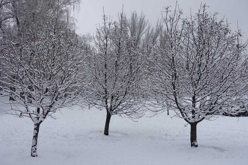 用雪盖的三棵whitebeam树在冬天 库存照片