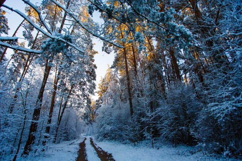 用雪盖的冬天森林高针叶树 轨道在森林 库存图片