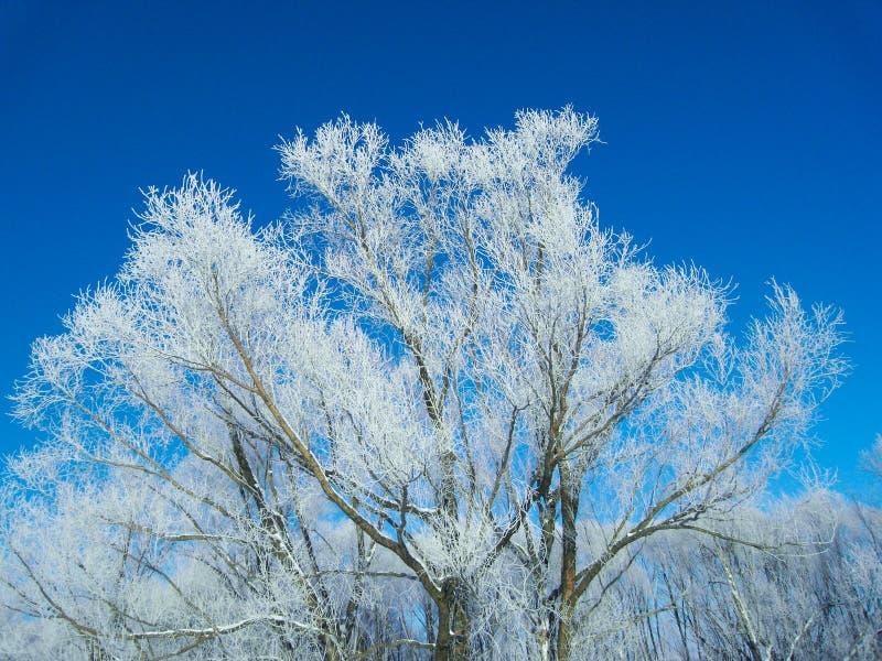 用雪盖的大树 库存照片