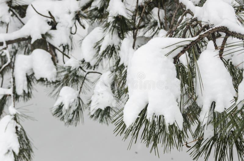 用雪盖的弗罗斯特树在冬天公园 库存照片