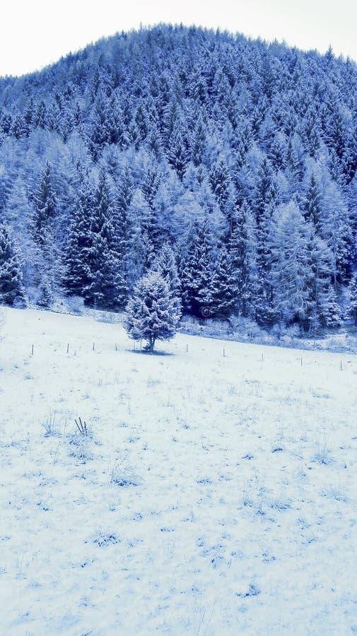 用雪盖的杉树森林-山风景在冬天 免版税图库摄影