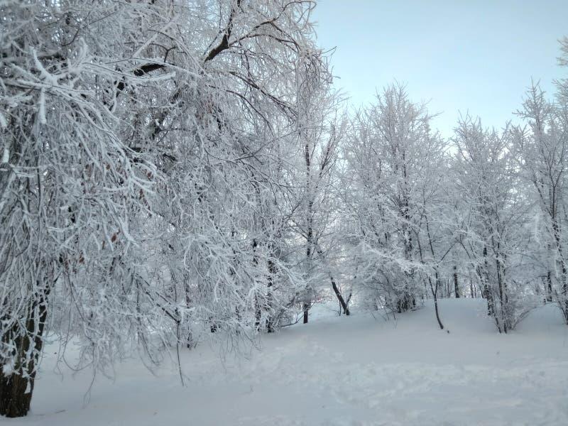 用雪盖的树在冬天 库存图片