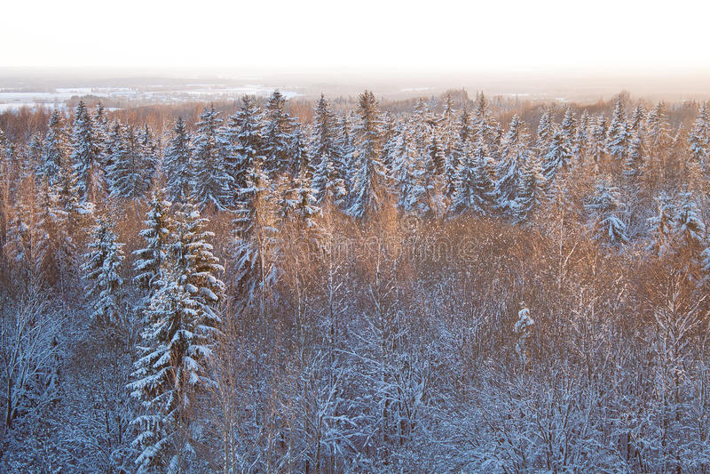 用雪盖的狂放的常青森林在冬天 免版税库存图片