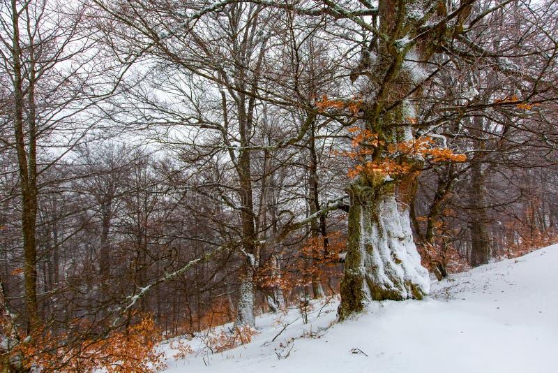 用雪盖的神秘的冬天森林在冬日 库存照片