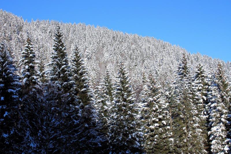 用雪盖的被日光照射了云杉的森林 免版税库存图片