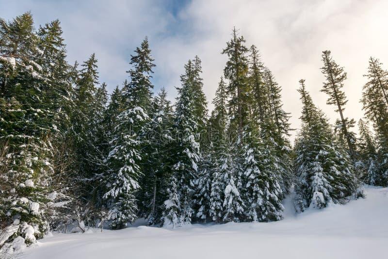 用雪盖的高云杉的树 库存照片