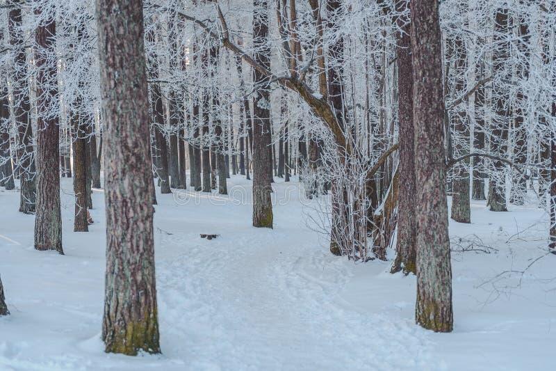 用霜积雪的道路盖的冬天树在树后掩藏 免版税库存图片