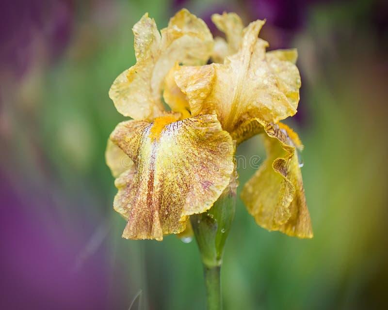 用露滴盖,生动的黄色虹膜在春天开花 免版税图库摄影