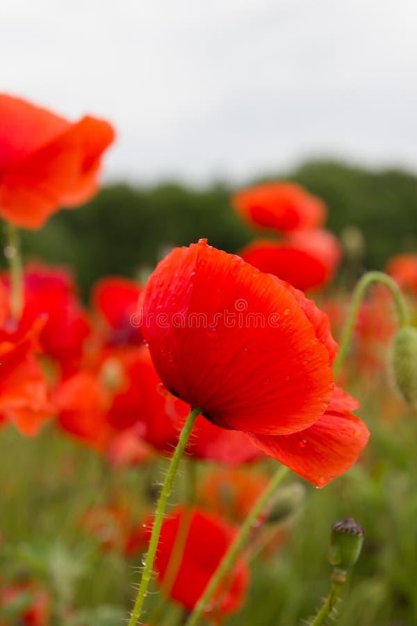 用露珠盖的开花的花在夏天以后下雨 免版税库存图片