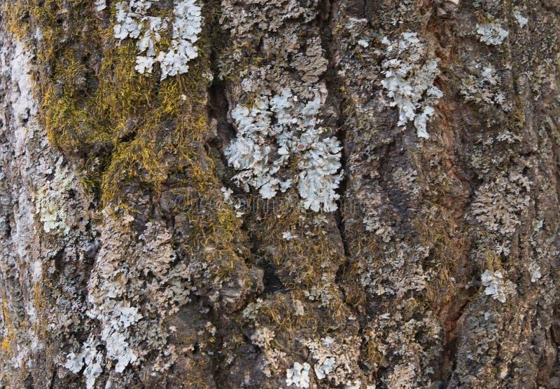 用青苔和地衣盖的一棵老树的吠声作为结构 免版税库存照片