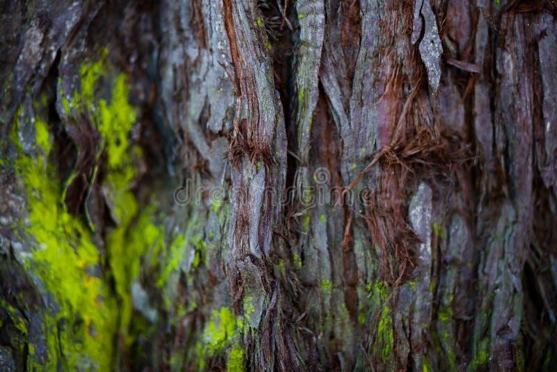 用青苔盖的一个大红木树干的接近的彩色照片 库存照片