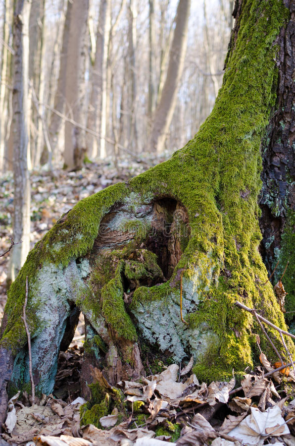 用青苔盖的一棵老树的根 库存图片