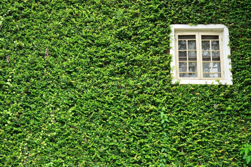 用绿色常春藤盖的窗口 库存图片