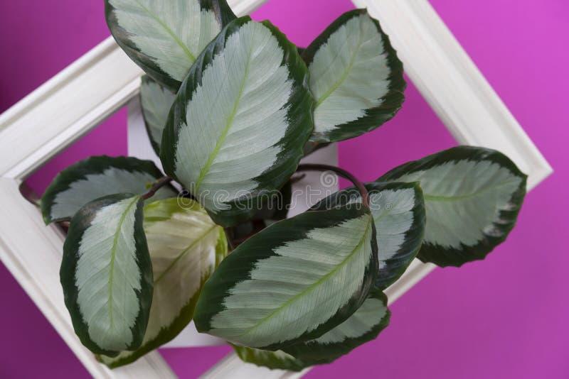 用calathea五颜六色的绿色和白色叶子和白色框架做的创造性的布局在桃红色背景 Calathea Maranta,红色祷告 库存图片