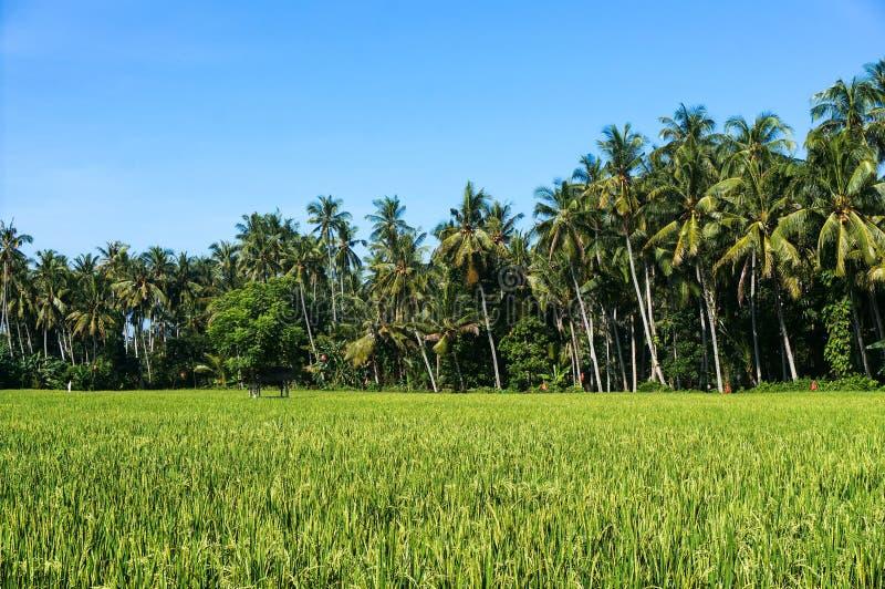 稻田和椰子树风景看法  库存图片