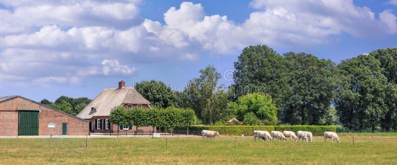 田园诗农舍全景与树和吃草母牛的在一个草甸在一个夏日,布拉本特,荷兰 库存图片