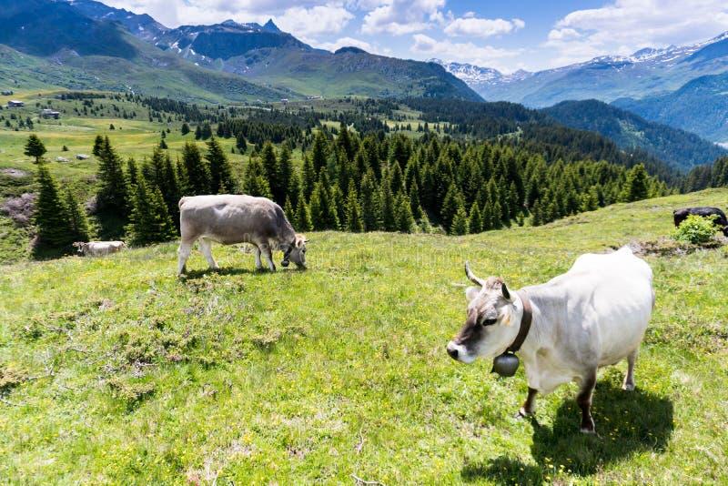 田园诗山风景与母牛和积雪覆盖的山的夏令时在背景中 库存图片