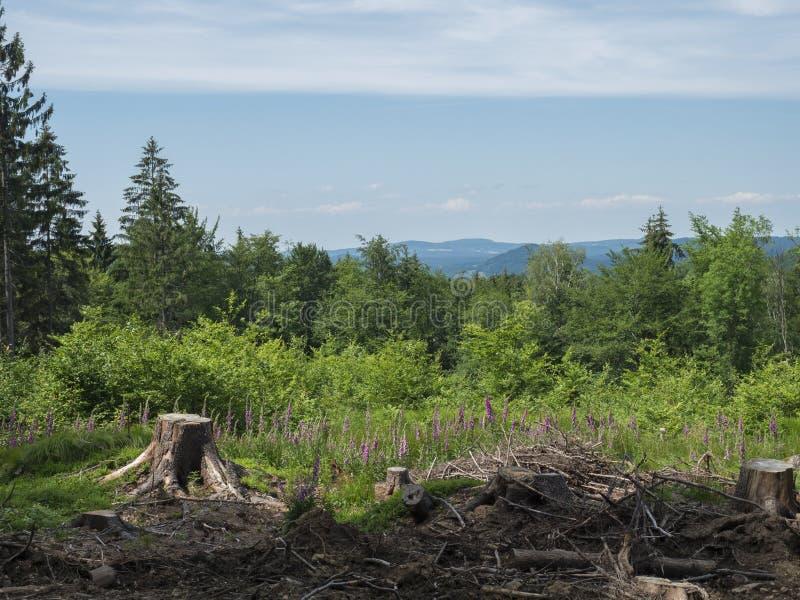田园诗春天风景lucitian山小山,与豪华的绿草草甸,新鲜的落叶和云杉的树森林 免版税库存照片
