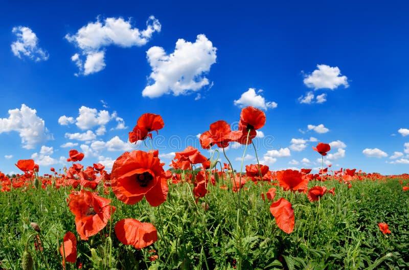 田园诗看法,有红色鸦片蓝天的草甸在背景中 免版税图库摄影