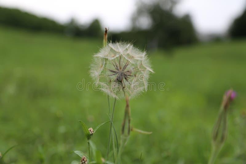 田地上美丽的蒲公英 免版税库存图片