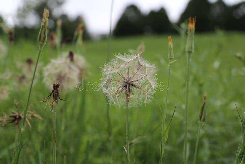 田地上美丽的蒲公英 库存图片