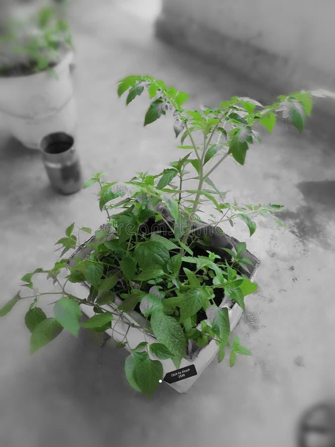 田本和辣椒植物 免版税图库摄影