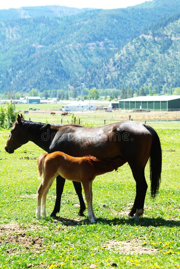 田纳西走的马 免版税图库摄影
