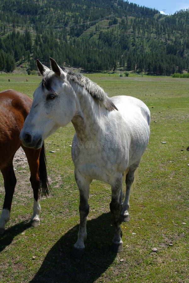 田纳西走的马 免版税库存照片