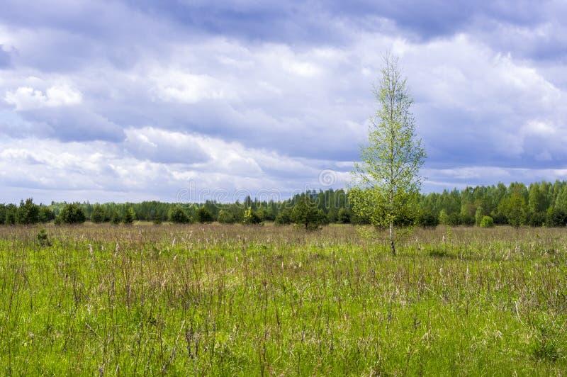 田野孤桦的春景 库存照片