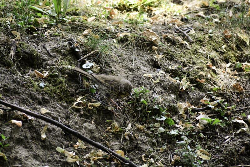 田鸫(;画眉类pilaris);在tha地面的立场和轨道捕食 免版税库存图片