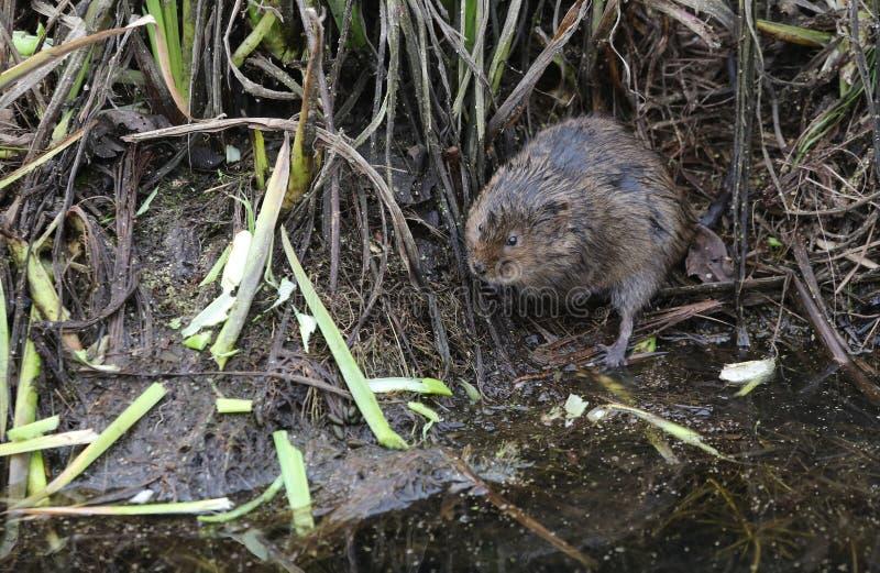 水田鼠是快速地下降野生哺乳动物的英国` s的水鼠属amphibius 库存图片