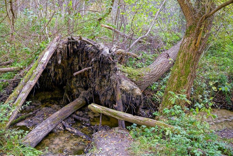 由一条小河的一棵下落的树在一个树木丛生的森林里 库存照片