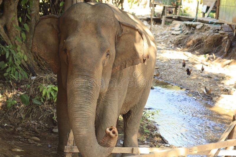 由一条河的老起皱纹的亚洲泰国大象在一个村庄在泰国,东南亚 免版税库存照片
