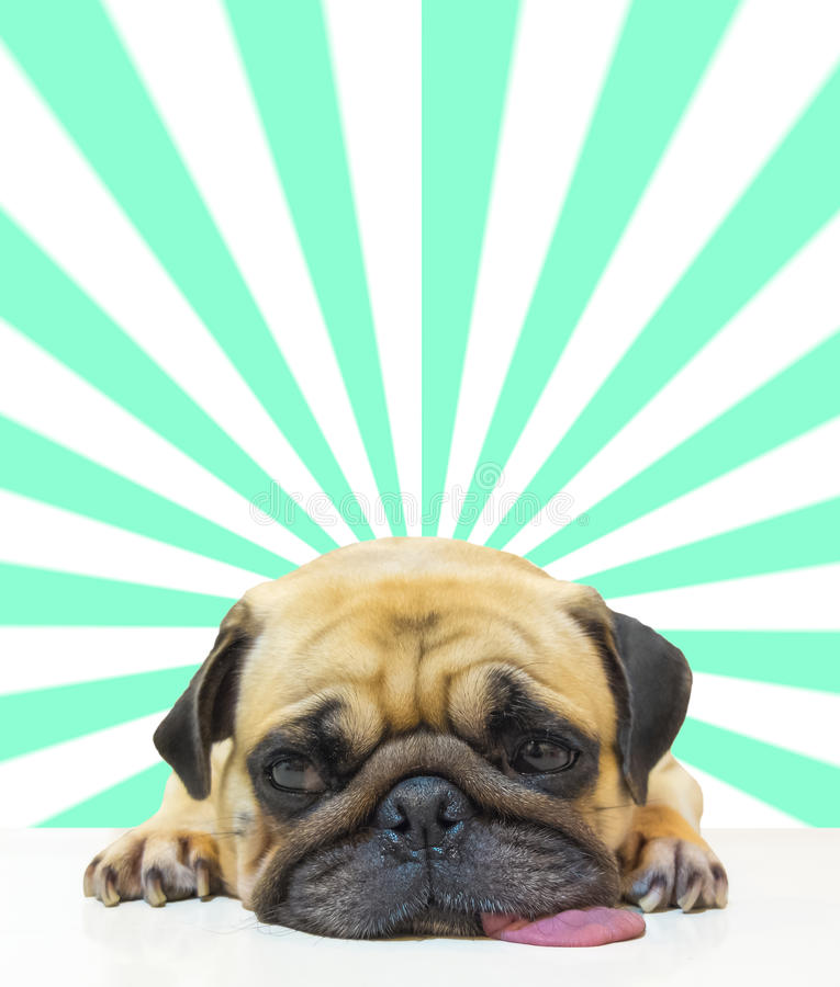 由下巴的逗人喜爱的狗小狗哈巴狗睡眠和舌头在抽象太阳射线背景的地板放置 免版税库存图片
