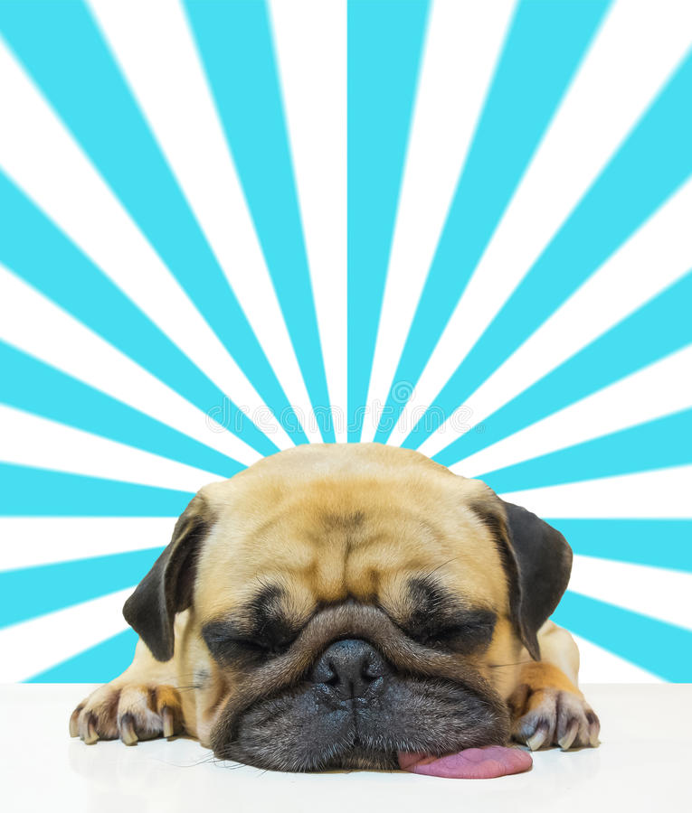 由下巴的逗人喜爱的狗小狗哈巴狗睡眠和舌头在抽象太阳射线背景的地板放置 库存图片