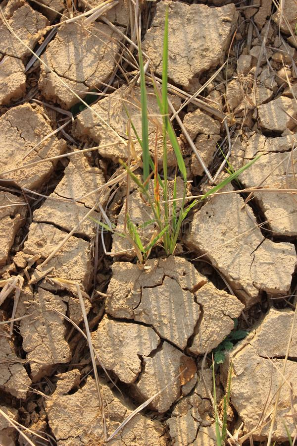由于种植,贫瘠米的地面不能执行 图库摄影