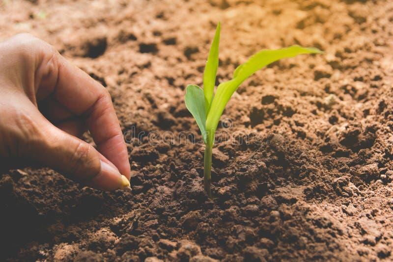 由人的手,在土壤的人的种子种子的幼木概念 库存照片