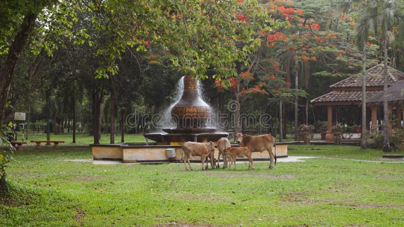 由公园的母牛 免版税库存图片